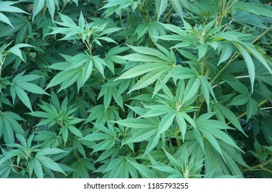 Marijuana cannabis green outdoor growing plant natural photo