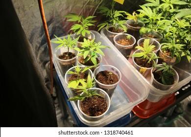 Marijuana. Marijuana and Cannabis growing indoors. Marijuana Grow Tent with lights. Medical and Recreational Cannabis plants.