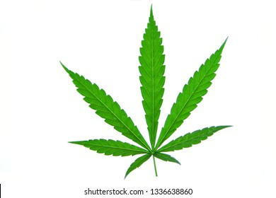 a Marijuana or cannabis leaf Isolated on white background.