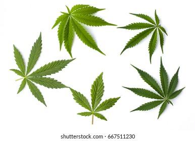 Marijuana cannabis leaves isolated on white background