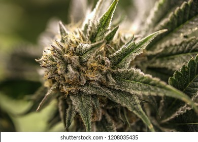 Marijuana - Cannabis Plant