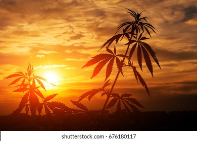 Marijuana, cannabis plants before harvest time in sunshine. Outdoor cultivation silhouette  plant. Warm shades of the setting sun