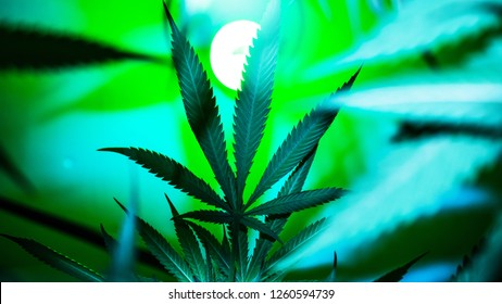 Marijuana Crop in Cannabis Farm, Growing Legal Weed and Pot Business
