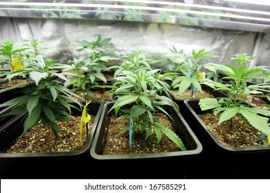 Marijuana crop growing indoors.