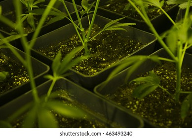 Marijuana cuttings growing plants