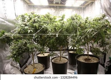 Marijuana Farming. Marijuana and Cannabis growing indoors. Marijuana Grow Tent with lights. Medical and Recreational Cannabis plants.