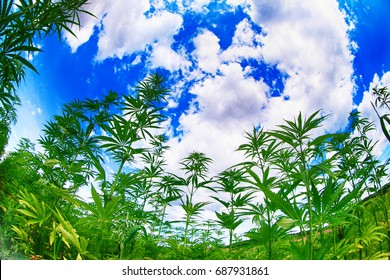 marijuana field and blue sky in the czech republic