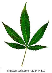 Marijuana Five Point Pot Leaf. Five leaf pot leaf isolated on white.