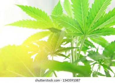 Marijuana flower Indoor growing. Cannabis business. Northern light strain. Planting cannabis. Home Grow legal Recreational weed. Marijuana grow operation.