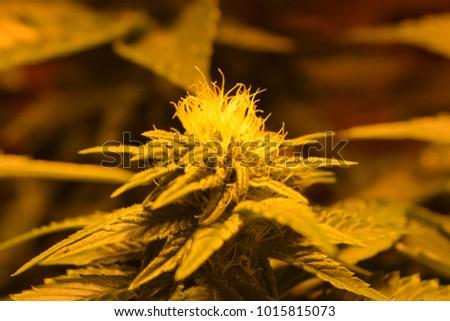Marijuana Flower Under 600 Watt High Stock Photo Edit Now