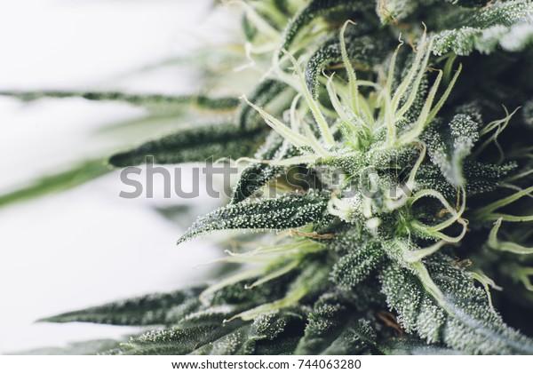 Цветы марихуаны фото масло конопли в онкологии