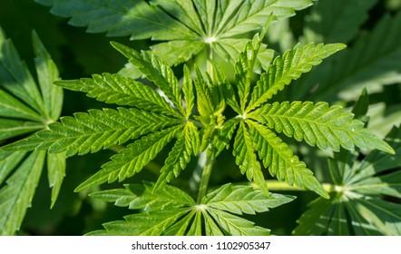 Marijuana foliage background photo. Bush cannabis closeup top view