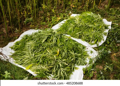 Marijuana freshly picked buds. Hemp plants are being used for medical purpose. Pile of cannabis.