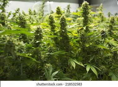 Marijuana garden with flowering plant ( cannabis), hemp plant.