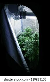 Marijuana garden indoor grow area home lab