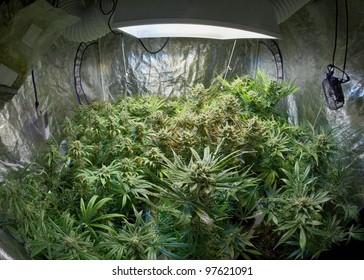 Marijuana garden indoor grow area
