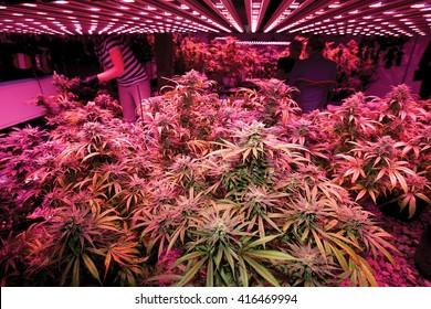 Marijuana Grow with LED Lights