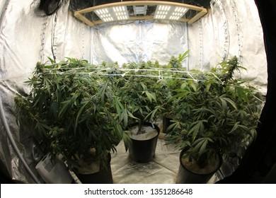 Marijuana. Growing Marijuana and Cannabis. Marijuana Grow Tent. Cannabis farm indoors.