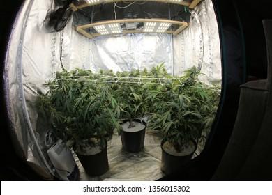 Marijuana. Growing Marijuana and Cannabis. Marijuana Grow Tent. Cannabis farm indoors. Shot through a FISH EYE LENS. Medical Marijuana. Recreational Cannabis.
