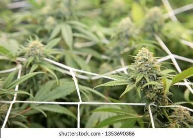 Marijuana. Growing Marijuana and Cannabis. Medical and Recreational Marijuana grow room or indoor pot farm. Cannabis Sativa. Cannabis Indica.