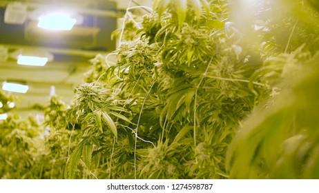 Marijuana Growing Under Artificial Lighting Warehouse in Washington State for Recreational Cannabis Sales