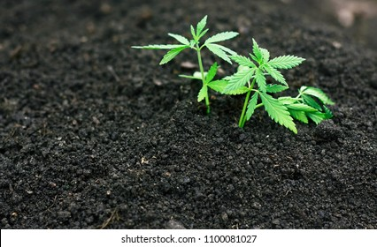 Marijuana grows young from soil from seeds for medicines. Small cannabis with green leaves close-up. High quality