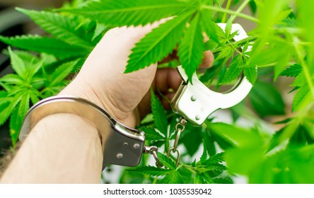 Marijuana is illegal. Hand in handcuffs against the background of growing marijuana.