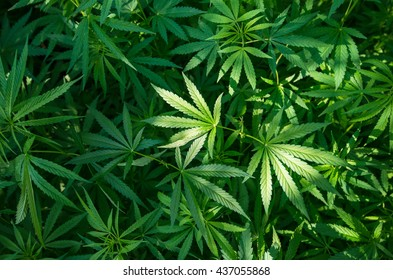 marijuana leaf background wallpaper, cannabis hemp leaf outdoors