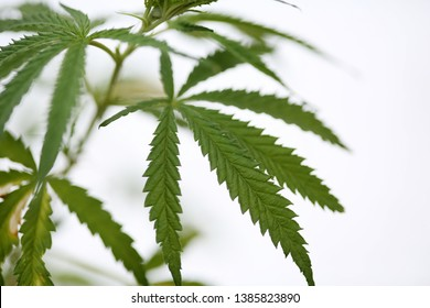 Marijuana Leaf Close Up. Extreme close up of Cannabis Leaf. Shallow Depth of focus. Green Pot Leaf. Room for text. Cannabis Indica. Cannabis Setiva.