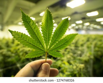 Marijuana Leaf Growing Cannabis For Legal Dispensary Store