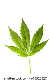 Marijuana leaf isolated on a white background