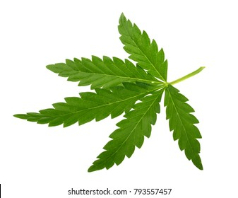 Marijuana leaf isolated on white without shadow
