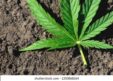 marijuana leaf on the ground in the field