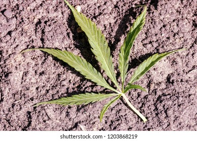 marijuana leaf thrown to the ground, lying on the gray ground leaf narcotic plants