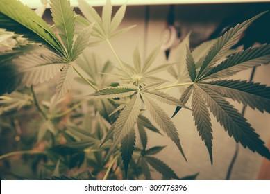 Marijuana Leafs Grow Op. Marijuana plants growing under artificial lights in a grow op.