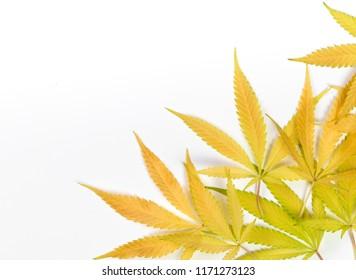 marijuana leaft in autumn isolated on white backround