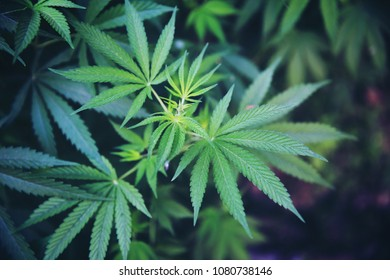 Marijuana leaves, cannabis on a dark background, ideal wallpaper or a thematic photo to legalize a plant indoor cultivation.