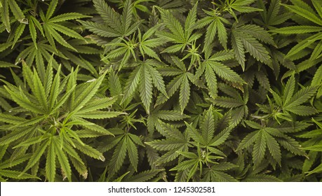 Marijuana leaves, cannabis on a dark background, beautiful background, indoor cultivation.