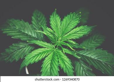 Marijuana leaves. Cannabis Plant Growing. Cannabis on a black background isolate.