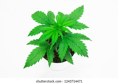 Marijuana leaves. Close up. Indoor cultivation. Vegetation period. Cannabis on a black background isolate. Cannabis Plant Growing. Beautiful background.