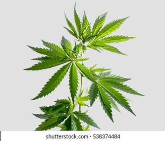 Marijuana leaves isolated on a light gray background. Wild plant.