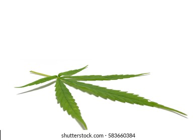 Marijuana leaves isolated on white background.