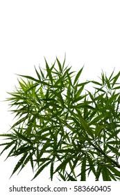 Marijuana leaves isolated on white background.