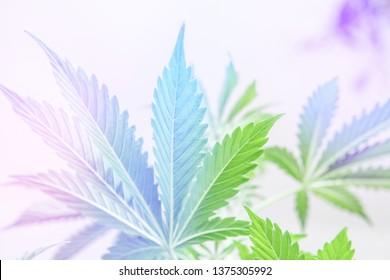 marijuana leaves on light, Cannabis vegetation plants, hemp marijuana CBD, marijuana legalization, indoor grow cannabis indica, white background cultivation cannabis,light leaks light leaks