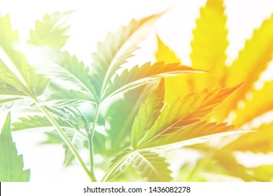 marijuana leaves on light, hemp marijuana CBD, marijuana legalization, indoor grow cannabis indica, white background cultivation cannabis, Cannabis vegetation plants,