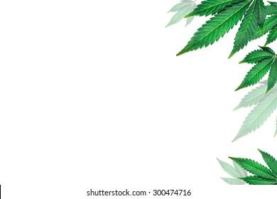 marijuana leaves on a white background