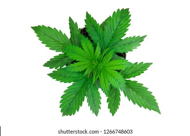 Marijuana leaves. Top view. Cannabis on a white background isolate. Indoor cultivation. Cannabis Plant Growing.