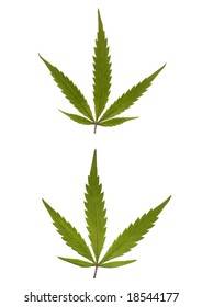Marijuana leaves. Very High res. scan