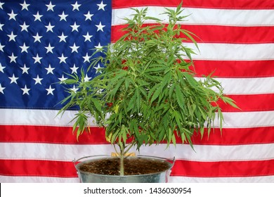 Marijuana. Legal Marijuana Plant with American Flag background. Marijuana is legal for medical and recreational uses in many of the united states.