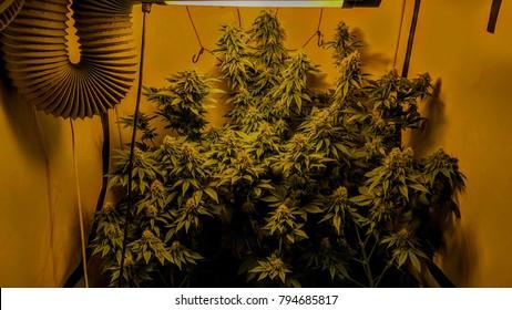 Marijuana medical flowers indoor